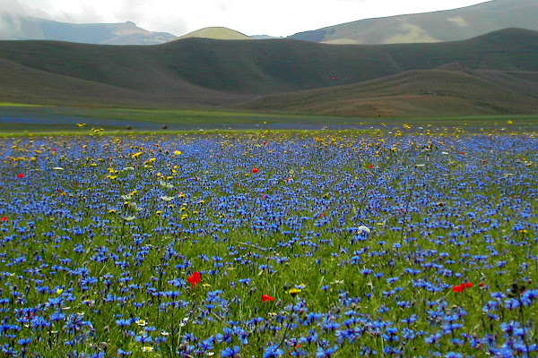 la fioritura a Castelluccio di Norcia di stefano freddi