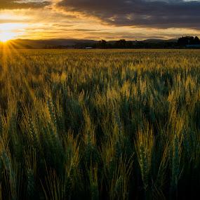 Morning Wheat by David Kreutzer - Landscapes Sunsets & Sunrises ( mountain, sunrise, field, palouse, wheel, farm, washington, sun )