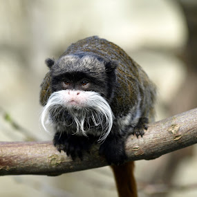 Emperor Tamarin portrait by Steen Hovmand Lassen - Animals Other Mammals ( face, america, emperor, furry, curl, wildlife, cute, close, nature, ape, fur, focus, hair, black, animal, look, isolated, wild, tamarin, white, forest, portrait, mammal, up, soft, background, south, primate, small, monkey,  )
