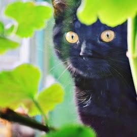 peek-a-boo by Ira Mdt - Animals - Cats Portraits ( #cat #snooping #blockedview #blackcat,  )