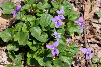 Photo: Common blue violet (Viola sororia)
