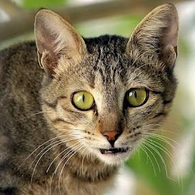 The Look  by Ghazan Joyia - Animals - Cats Portraits (  )