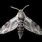 Convolvulus hawkmoth