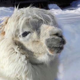 Alpaca by Patricia Phillips - Animals Other Mammals ( animals alpacas pack white alaska zoo )