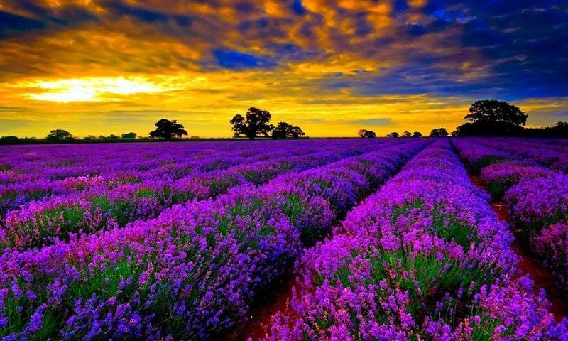 mơ thấy hoa màu tím
