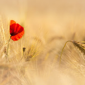 Poppy by Paul Atcliffe - Nature Up Close Flowers - 2011-2013