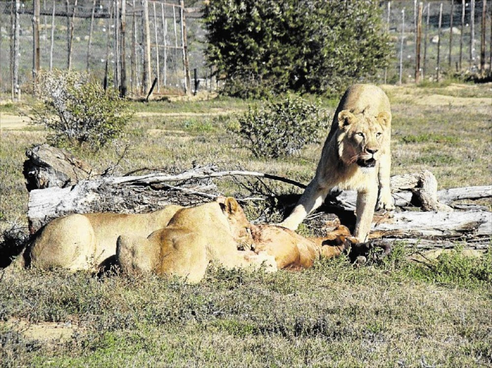 OPINION | How our lions are cruelly slaughtered - with government