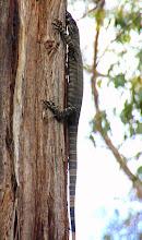 Photo: Year 2 Day 159 - Lizard Climbing a Tree