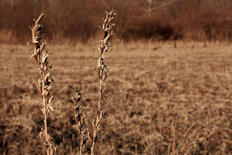 Photo: Weeds among corn  Today's contribution to my #365Project curated by +Simon Kitcher and +Susan Porter