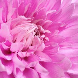Pretty in Pink by Rosemary Gamburg - Flowers Single Flower ( #flowers #macro #pink )