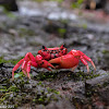 Pink Forest Crab