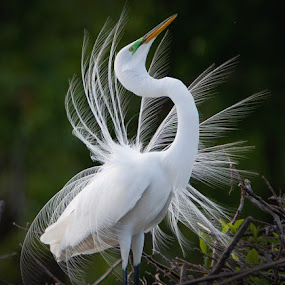 Showy Egret by Jack Nevitt - Animals Birds ( great white egret breeding display mating plumage florida )