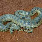 SUCURI Snake - the famous Anaconda