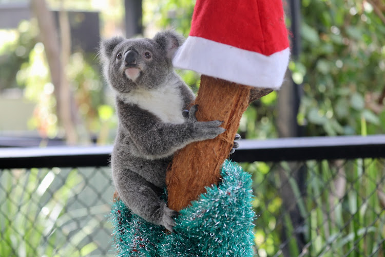 A baby koala is seen near decorations while celebrating its first Christmas at the Australian Reptile Park in Somersby, Australia, December 15, 2020, in this picture obtained from social media.