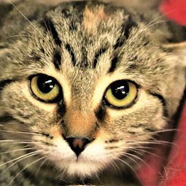 MiMi by Linda    L Tatler - Animals - Cats Kittens ( feline, kitten, cat, female, tabby, pet )