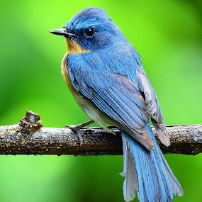by Manoj Kulkarni - Animals Birds ( nature, flycatcher, forest, chiplun,  )