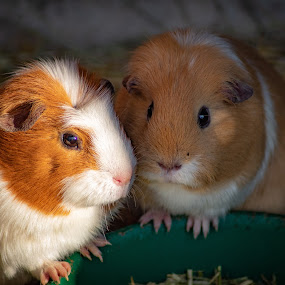 by Bradley Foot - Animals Other Mammals ( mammels, animals, guinea pigs, cute, canon )