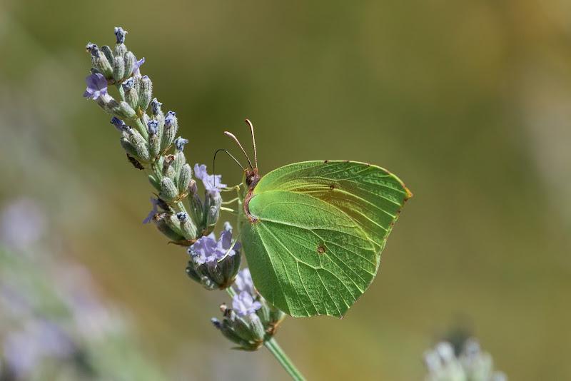 La farfalla dalle ali verdi di Davide_79
