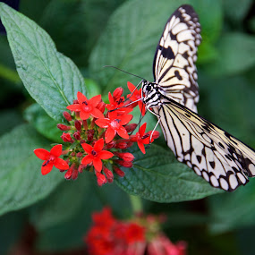Dancing Butterfly by Rebecca Roy - Animals Insects & Spiders ( butterfly, black and white, green leaves, idea leuconoe, red flowers,  )