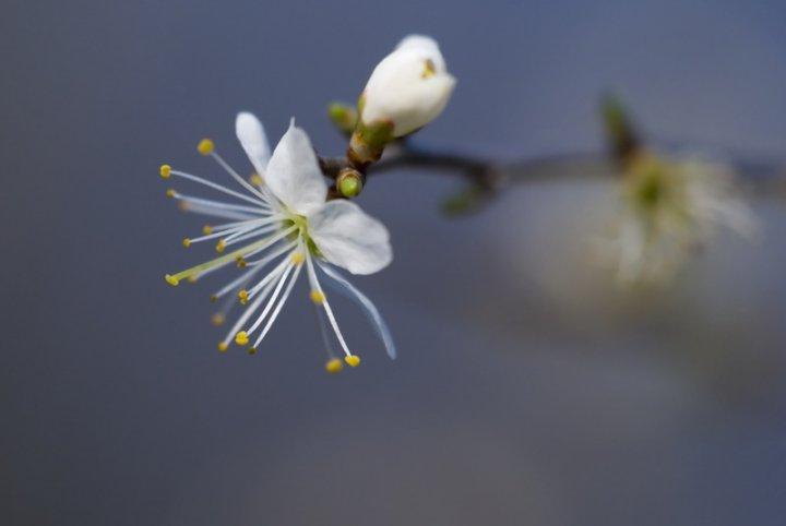 fiore di ciliegio di giobberto