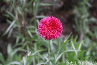 Photo: 拍攝地點: 梅峰-溫帶花卉區 拍攝植物: 矢車菊 拍攝日期: 2015_02_09_FY