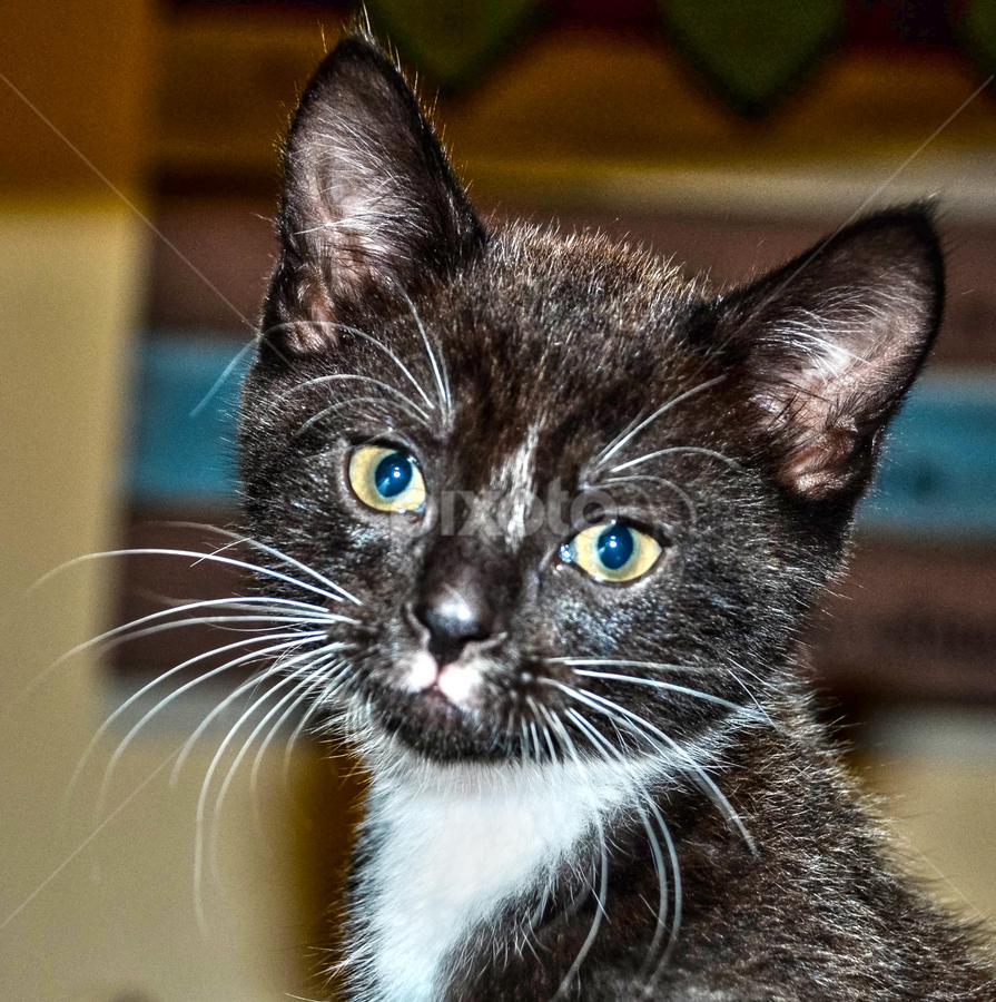 Kitten by Stephen Fouche - Animals - Cats Kittens (  )