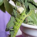 Convolvulus Hawkmoth Caterpillar