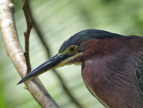 Photo: close-up of a green heron