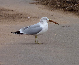 Photo: Ring-billed Gull carrying... something