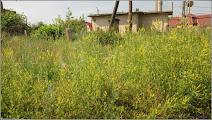 Photo: Sulfina galbenă (Melilotus officinalis) - Turda - in zona strazii Fabricii - 2019.06.22  pagina pe blog: https://ana-maria-catalina.blogspot.com/2019/06/sulfina-galbena-melilotus-officinalis.html