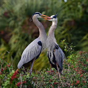 Mating herons by Ruth Overmyer - Animals Birds