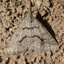 Widespread Heath Moth
