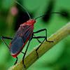Leptocoris (Rhopalidae)