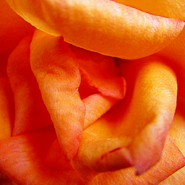 Shades of Orange by Tina Dare - Abstract Macro ( orange, macro, close up, nature, up close, rose, abstract,  )