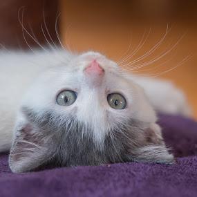 Wiscar 9 by Anita Meis - Animals - Cats Kittens ( kitten, shoot, cute, newborn )