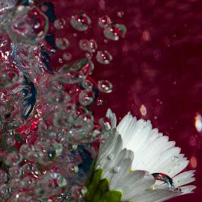 born by Giovanni De Bellis - Nature Up Close Flowers - 2011-2013 ( bubble, born, red, nature, daisy, close up, flower )