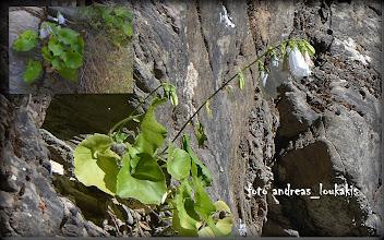 Photo: campanula cretica (campanulaceae) Ενδημικό Κρήτης Φαράγγι Σαμαριάς (23-6-2013)  ΚΑΜΠΑΝΟΥΛΑ Η ΚΡΗΤΙΚΗ. (Σπάνιο (R) σύµφωνα µε IUCN 1997,βρίσκεται σε καθεστώς προστασίας (για απειλούµενα είδη): Π.∆. 67/1981). Φυτό όμορφο σχετικά σπάνιο είναι λείο και πολυετές. Τα κατώτερα φύλλα έµµισχα, µε έλασµα καρδιοειδές ή νεφροειδές, οδοντωτό, τα ανώ-τερα επιφυή. Άνθη γαλάζια, ή λευκά, κωδωνοειδή σε αραιή βοτρυοειδή ταξιανθία. Λοβοί του κάλυκα περίπου 15 mm, γραµµοειδείς-λογχοειδείς.Το συναντάμε σκιερές απότοµες πλαγιές και βραχώδη πρανή (υψ. 50 1700m).Περίοδος ανθοφορίας: Ιούλιος-Αύγουστος.