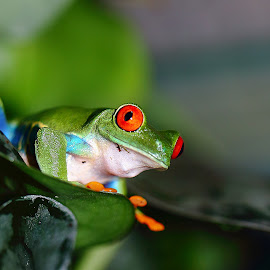 Red eyes by Gérard CHATENET - Animals Amphibians