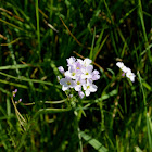 Cuckoo flower (Lady's-smock)