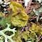 Greenleaf tuckermannopsis lichen
