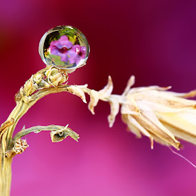 Dew by Agus  Sudarmanto - Nature Up Close Flowers - 2011-2013