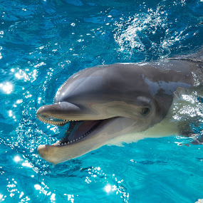 Dolphin by Chad Johnson - Animals Sea Creatures ( dolphin, water, blue, seaworld )