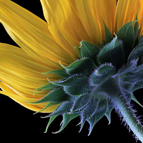 Sunflower by Besnik Hamiti - Nature Up Close Flowers - 2011-2013 ( sunflower )