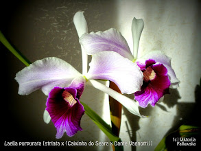 Photo: Laelia purpurata [striata x (Caixinha do Seara x Dante Vagnotti)]