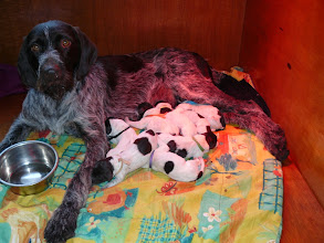 Photo: 8 cesky fousek pups en een trotse moeder na een soepele bevalling