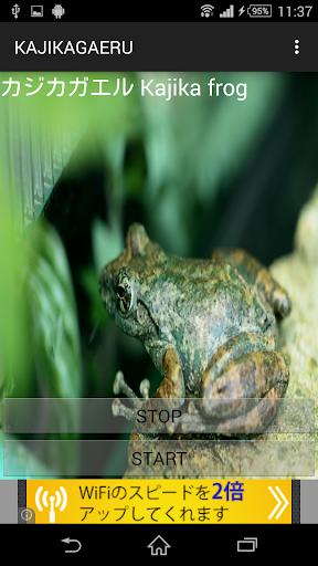 カエル鳴き声カジカガエル