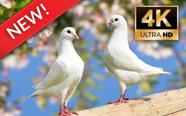 White pigeons HD Wallpapers - Custom New Tab