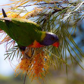 Rainbow Lorikeet  by Jan Crawford - Animals Birds ( bird, colourful, blue, green, sunshine,  )