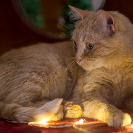 Lucky and the lights by Susan Pretorius - Animals - Cats Portraits