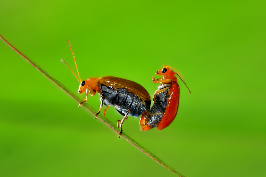Love is in the air by Thomas Budidjaja - Animals Insects & Spiders